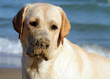 young yellow labrador playing at the sea