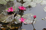 Pink lotus flowers growing upright.