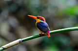 male Black-backed Kingfisher (Ceyx erithacus)