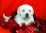 yellow labrador puppy with New Year (Christmas) toys