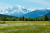Summer dandelion meadow (Italy).