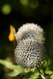 Allium Flower Head
