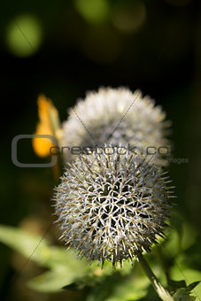 Allium Flower Head
