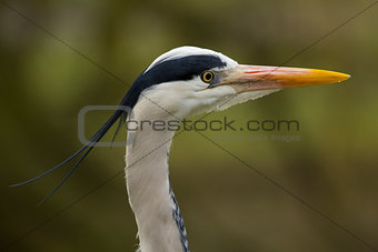 Great Blue Heron - profile head shot
