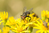 Sarcophaga Fly amongst Ragwort Flowers
