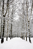 Birch grove in russian winter