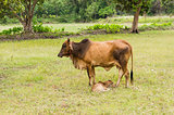 Cow and grass