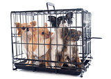 chihuahuas in kennel
