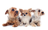 yorkshire terriers and chihuahua
