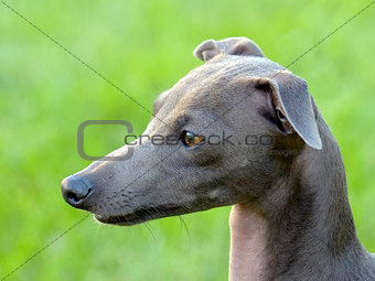 The portrait of Italian Greyhound