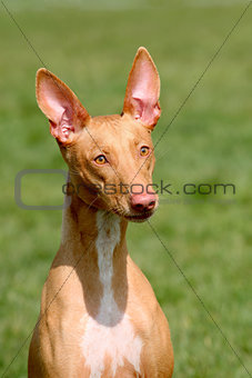 The detail of strange Pharaoh Hound