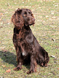 Brown German Spaniel dog