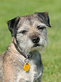 Very old Border Terrier in a garden