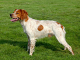 Typical spotted Brittany Spaniel dog