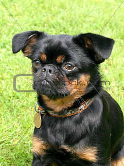 Black Petit Brabancon dog