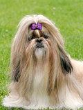 The portrait of funny shih tzu dog