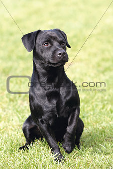 Portrait of black Patterdale Terrier dog