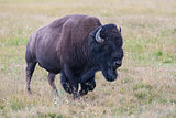 Portrait of American Bison