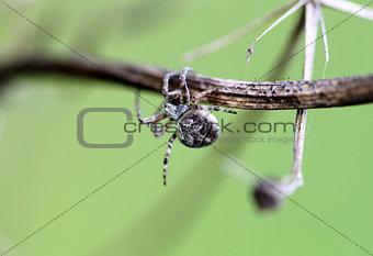 Small spider krestovik