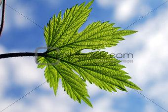 Green leaf hops