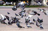 A flock of pigeons on the fly bite seeds in the Park