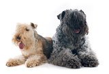 kerry blue terrier and lakeland terrier
