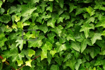 Green ivy background