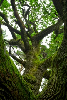 Powerful oak.