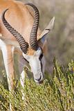 springbok feeding time