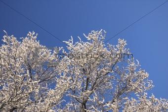 Hoarfrosty Tree Twigs