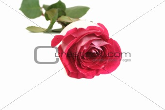 One beautiful pink rose