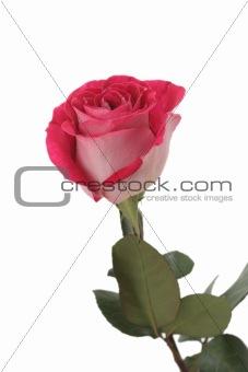 One beautiful pink rose