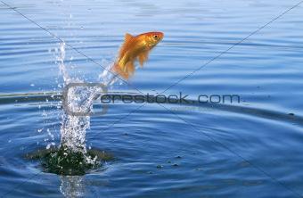 Goldfish jumping