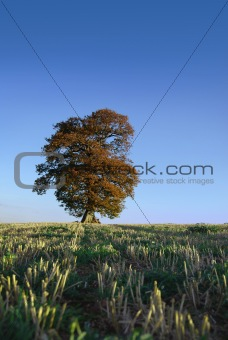 Cultivated field with a lone tree