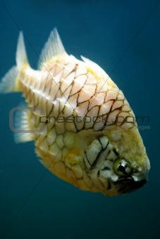 Knight Fish