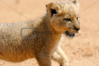 African White Lion Cub