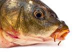 Head of carp