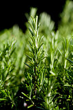 fresh aromatic green rosemary macro