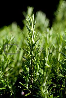 fresh aromatic green rosemary macro