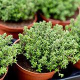 fresh green aromatc thyme herb macro