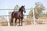 caballo de pura raza menorquina prm horse outdoor rolling