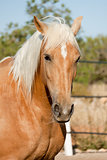beautiful blond cruzado horse outside horse ranch field