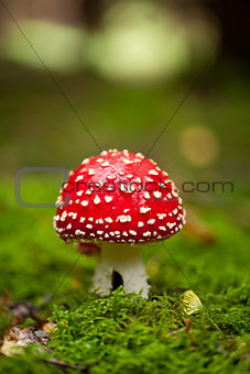 agaric amanita muscaia mushroom detail in forest autumn