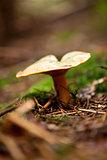 brown mushroom autumn outdoor macro closeup