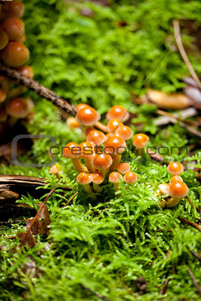 group of brown mushrooms in forest autumn outdoor