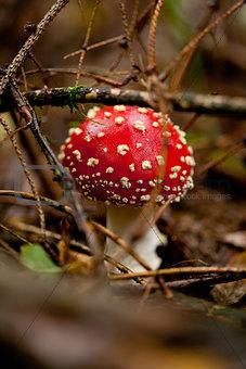 agaric amanita muscaia mushroom detail in forest autumn