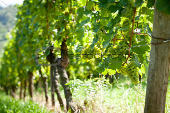 green and red grapevine outdoor in autumn summer