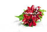 Christmas poinsettia with snow