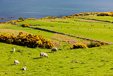 landscape with sheep near Crackaig, Highlands, Scotland