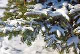 Pine branches in snow in winter forest